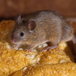Mice & Shrew Removal Services Alaska