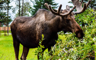 Are Moose in Alaska Dangerous to Have by My Home?