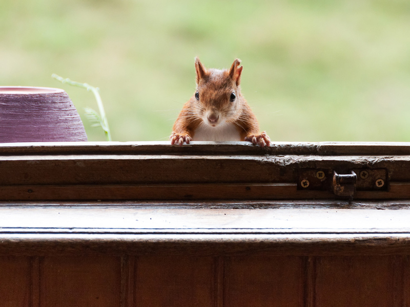 Dangers of Having Squirrels in Your Attic & Home