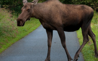 Getting Rid of Moose in Anchorage