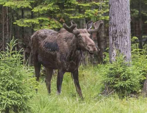 Nuisance Moose in Yards in Alaska