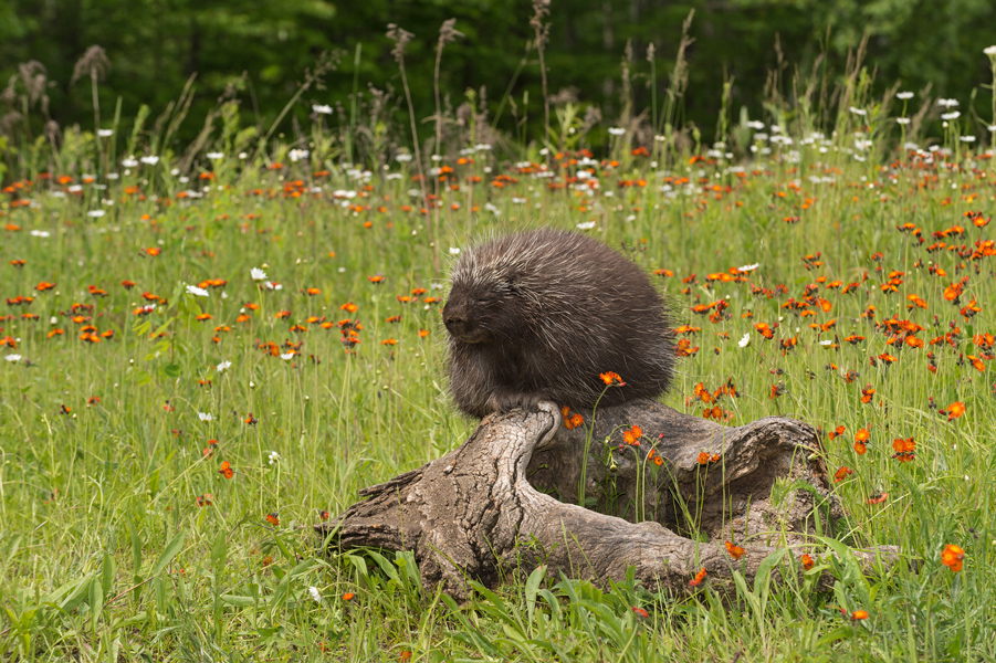 porcupine removal from your yard