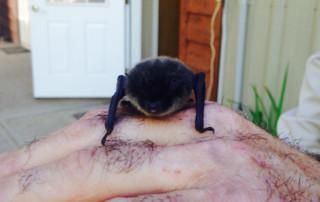 Residential Bat Removal Service Wasilla Alaska
