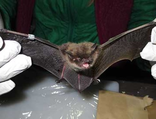Bats in Alaska – Volunteers Needed