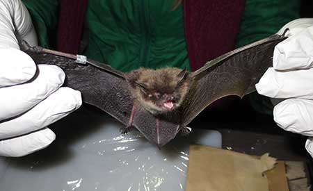 Bat Removal Alaska