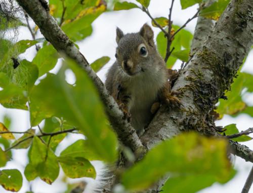 Squirrel Removal Eagle River Alaska