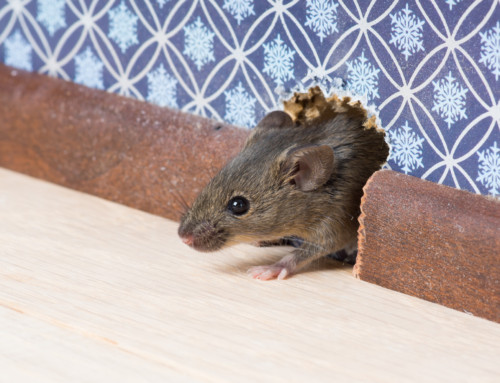 Commercial Rodent Removal Project Anchorage Alaska
