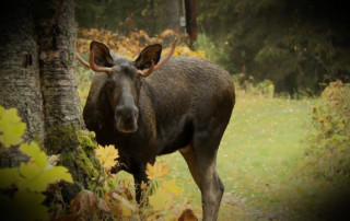 Varmint Gone Moose National Geographic Wild