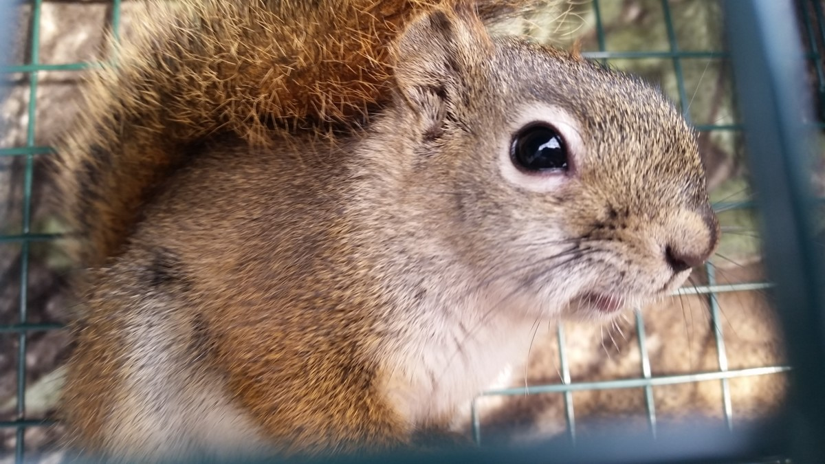 red squirrel removal alaska