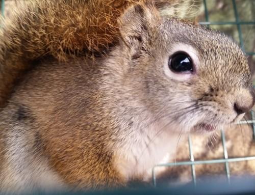Red Squirrels Invading Alaska Homes