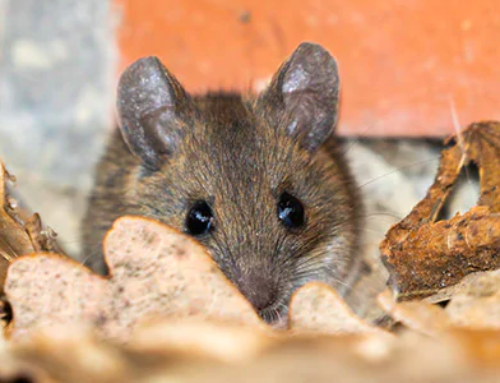 Trapping Mice Won't Solve Your Rodent Problem